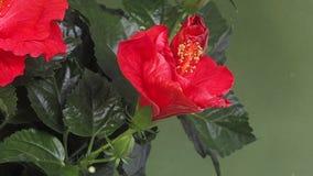 Czerwony poślubnik, kwiatu otwarcie zdjęcie wideo