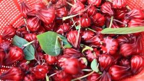 Czerwony poślubnik kwitnie w ogródzie zbiory