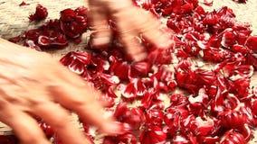 Czerwony poślubnik kwitnie w ogródzie zbiory wideo