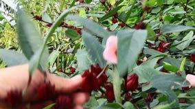 Czerwony poślubnik kwitnie w ogródzie zdjęcie wideo