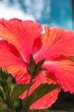 Czerwony poślubnik w pełnym kwiacie Zdjęcie Royalty Free