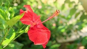 Czerwony poślubnika kwiat na zielonym tle zbiory