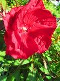 Czerwony poślubnika kwiat w popołudniowym słońcu obrazy royalty free