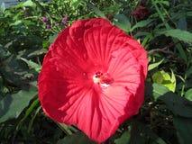 Czerwony poślubnika kwiat wygrzewa się w ciepłej łunie popołudnia światło obraz royalty free