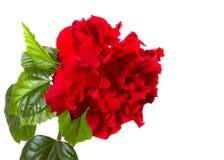 Czerwony poślubnik Zdjęcia Royalty Free