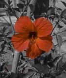 Czerwony poślubnik Zdjęcie Royalty Free