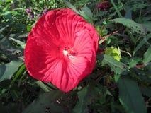 Czerwony poślubnika kwiat z zielonym ulistnieniem fotografia stock