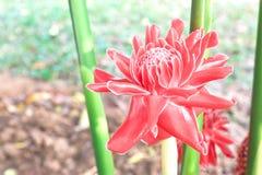 Czerwony pochodnia imbir w ogródzie zdjęcia stock