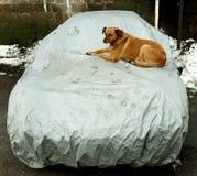 Czerwony podwórze psa obsiadanie na kapiszonie samochód obraz stock