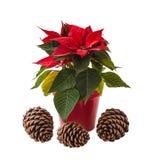 Czerwony poinsecja kwiat i trzy sosnowego przeciwu (euforbii pulcherrima) Zdjęcia Royalty Free