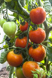 czerwony pomidor Fotografia Royalty Free