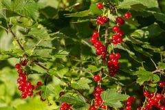 Czerwony porzeczkowy krzak w ogródzie Fotografia Stock