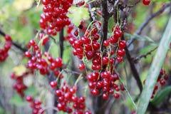 Czerwony porzeczkowy krzak w ogródzie Obraz Royalty Free