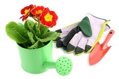 Czerwony primula kwiat w wodnym kota garnku ogrodowe rękawiczki i wtykają a Zdjęcie Royalty Free