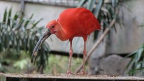 Czerwony ptak przy Ptasią Kindgom wolierą w Niagara spadkach, Kanada wersja 2 Zdjęcie Stock