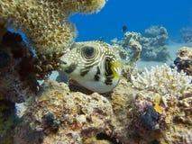 czerwony pufferfish morze Zdjęcie Royalty Free