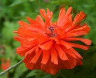 Czerwony purpur menchii peoni kwiat na zmroku - błękitnego czerni tło, purpurowa peonia, czerwony kwiat, wiosna kwiat, różowa peo Obrazy Royalty Free