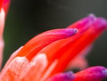 Czerwony Purpurowy Bromeliad kwiatu kwitnienie Zdjęcie Stock