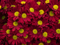 Czerwony purpurowy daisey kwiat Fotografia Royalty Free