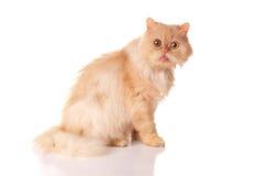 Czerwony puszysty kot. Zdjęcia Royalty Free