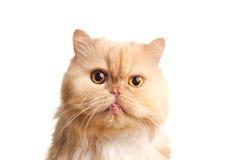 Czerwony puszysty kot. Obrazy Royalty Free