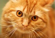 Czerwony puszysty kot z pomarańczowymi oczami Obrazy Stock