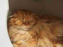 Czerwony puszysty kota dosypianie w domu Obraz Stock