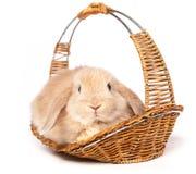 Czerwony puszysty królik w koszu Obraz Stock