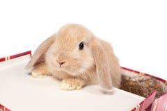 Czerwony puszysty królik w walizce Obrazy Stock