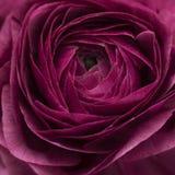 Czerwony ranunculus lub jaskieru kwiat makro- Zdjęcia Stock