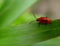 czerwony robaki Obraz Royalty Free
