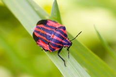 czerwony robaki Zdjęcia Royalty Free