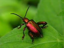 czerwony robaki Obrazy Stock