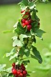 Czerwony rodzynek na zielonym tle zdjęcie stock