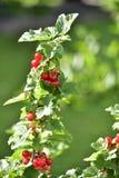 Czerwony rodzynek na zielonym tle obraz royalty free