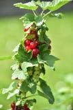 Czerwony rodzynek na zielonym tle zdjęcia royalty free