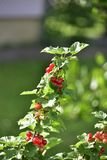Czerwony rodzynek na zielonym tle fotografia royalty free