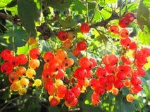 Czerwony rodzynek w świetle słonecznym Obraz Royalty Free