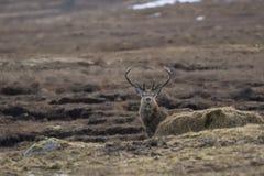 Czerwony rogacz, Cervus elaphus, jeleń pasa wśród roztoki w Cairngorm parku narodowym podczas zimy w Luty, foraging, Scotland zdjęcia royalty free