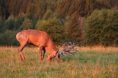 Czerwony rogacz podczas jeleniego bekowiska w natury siedlisku republika czech zdjęcie royalty free