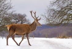 Czerwony rogacz w śnieżnym parku Obraz Royalty Free