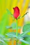Czerwony rose' pączek Obraz Stock
