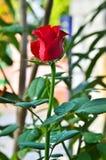 Czerwony rose' pączek zdjęcie royalty free