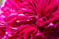 Czerwony rosebud zakończenie Obrazy Stock