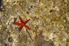 Czerwony rozgwiazdy tło Obraz Royalty Free