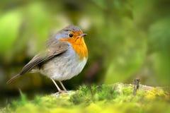 Czerwony rudzika ptak Obrazy Stock