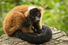 czerwony ruffed lemur Obraz Royalty Free
