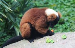 czerwony ruffed lemur Fotografia Royalty Free