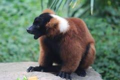 czerwony ruffed lemur Obrazy Royalty Free
