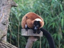 czerwony ruffed lemur Zdjęcie Stock